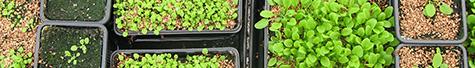 arabidopsis en serre
